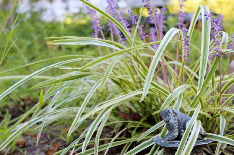 lilyturf and frog