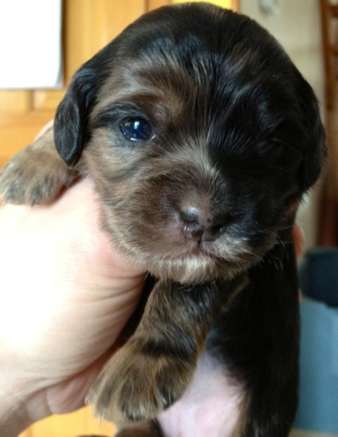 Pester puppy