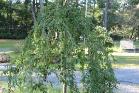 tree-weeping cherry