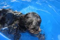 Filbert swimming (20)