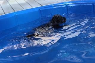 Filbert swimming (50)