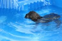 Marzipan swimming (3)