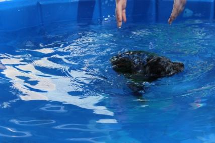 Pistachio swimming (33)